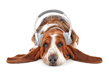 Basset hound dog in headphones on white background