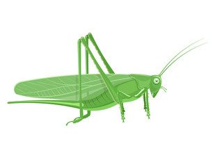 Grasshopper Cartoon vector illustration isolated on white background