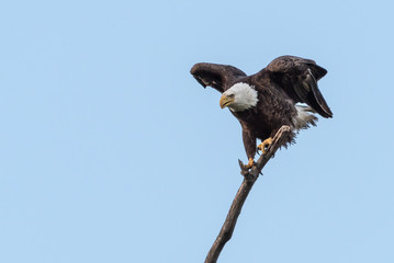 Bald Eagle Landing on a Tree Limb