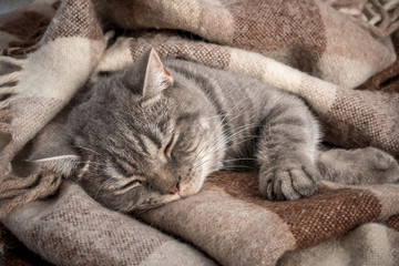 lovely fluffy cat sleeps in a plaid