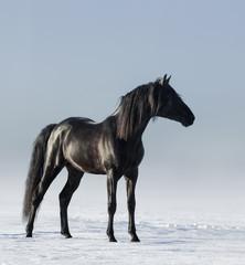 Fototapete - Black horse in the field in the winter.