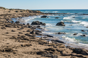 Many elephant seals during mating season in San Simeon on California coast