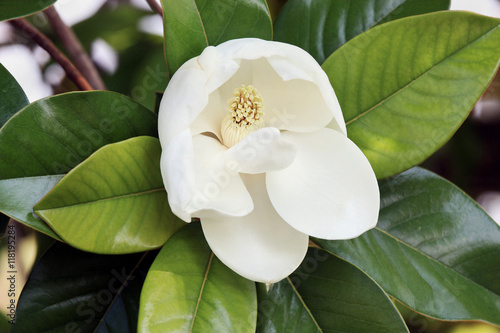 Magnolia flower on tree big white petals and yellow stamens green magnolia flower on tree big white petals and yellow stamens green glossy leaves mightylinksfo