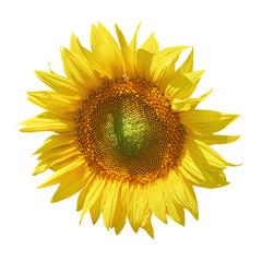 Sunflower against White