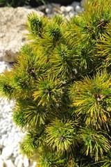 "Golden pine (Pinus mugo ""Ophir"") in the autumn rock garden"