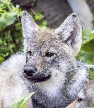 Wolf Puppy 3