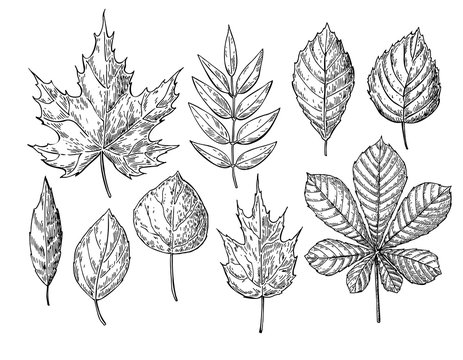 Vector autumn drawing leaves set. Isolated objects. Hand drawn d
