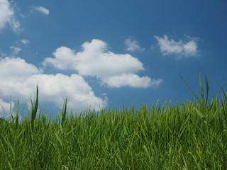 緑の稲穂と青空