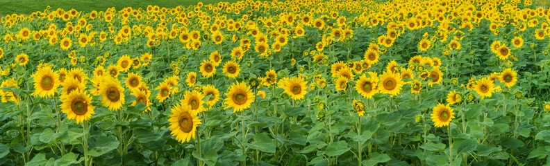 banner picture of a field of bright yellow sunflowers facing the sun