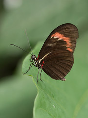 Close up photograph of a brown longwing butterfly resting on a green tropical leaf.