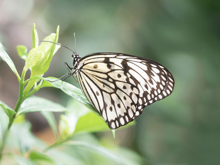 Close up photograph of a paper kite butterfly (also known as a rice paper butterfly) resting on a green tropical leaf.