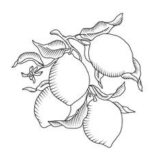 Lemon branch with fruit