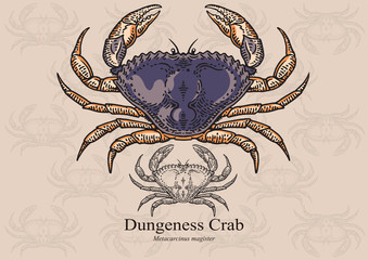 Dungeness crab. Vector illustration for artwork in small sizes. Suitable for graphic and packaging design, educational examples, web, etc.