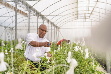 Portrait of manager inspecting young tomato plants in Hydroponic farm in Nevis, West Indies