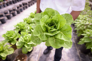 Low section of worker holding romaine lettuce in hydroponic farm