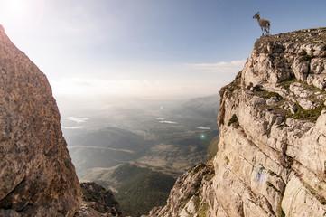 yabani dağ tekesi ve uçurum