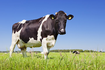 Cow in a fresh grassy field on a clear day