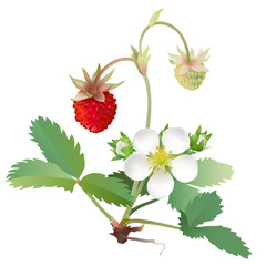 Wild strawberry. Hand drawn vector illustration of wild strawberry plant with flowers and berries on transparent background.