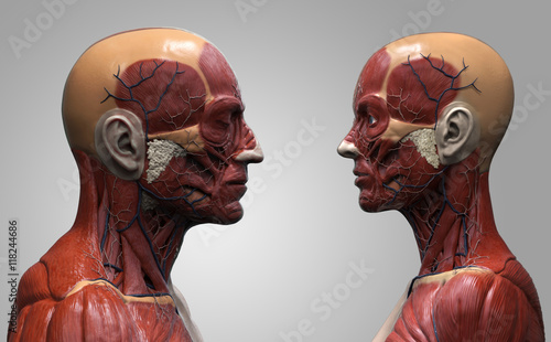 Human anatomy background of a male and female - muscle