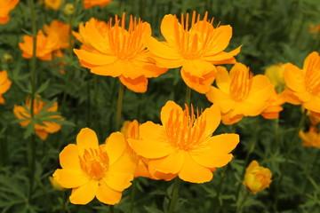 "Yellow-orange ""Asian Globeflower"" (or only Globe Flower) in St. Gallen, Switzerland. Its Latin name is Trollius Asiaticus, native to Northeastern Russia, Siberia and Turkestan."