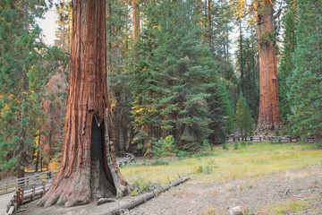 Giant Big Red Wood trees on Sequoia National Park, California, USA