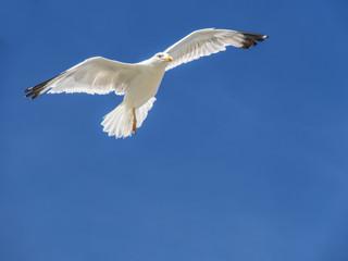 Gaviota volando cielo azul