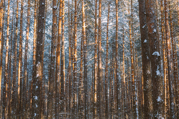 Trunks And Branches Of Pine Trees Covered With Frost And Snow. Winter