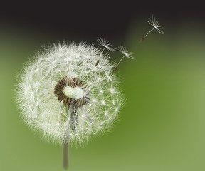 Dandelion. 