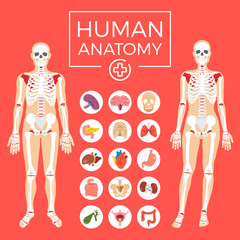 Human anatomy. Man and woman body, skeletal system, internal organs icons set. Flat graphic design elements set. Modern vector illustration