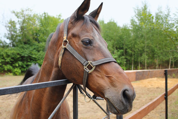 Beautiful brown horse in the paddock behind a wooden fence
