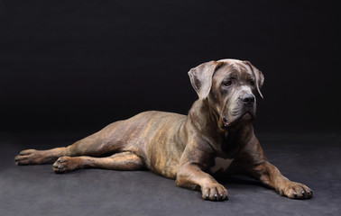 Cane Corso brindle lying on the floor isolated on black