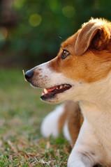 A beautiful attentive Jack Russel pup