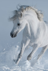 Fototapete - Close up galloping white stallions in snow.