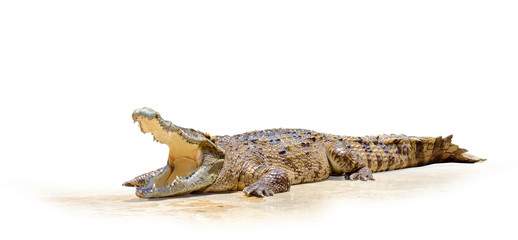Crocodile / Crocodile swamp with open mouth on white background.