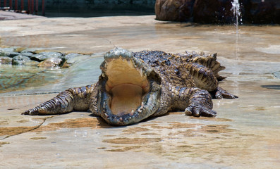 Crocodile / View of crocodile swamp with open mouth.