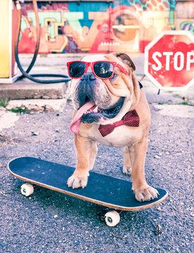 English bulldog on the skateboard