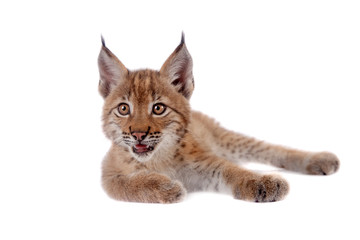 Deurstickers Lynx Eurasian Lynx cub on white