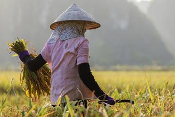 Farmer harvesting rice plants in rural field