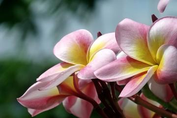 Phumaria flower