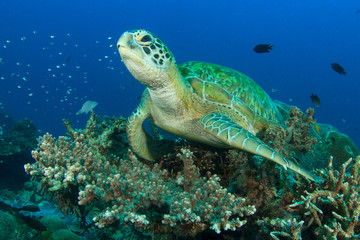 Sea Turtle coral reef in ocean