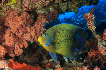 Koran Angelfish tropical fish coral reef