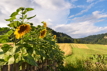 Sunflowers in the garden, fields and mountains as background.