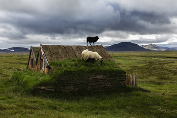 Sheep grazing on sod house in rural landscape