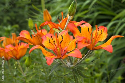 Цветок лилии садовый
