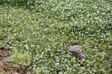 Buffalo wading through plants in marsh