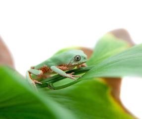 Walking leaf frog on white