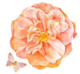 Watercolor drawings of tender rose and butterfly, toned