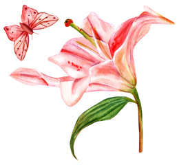 Watercolor drawing of tender pink lily with butterfly, on white