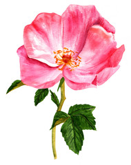 Watercolor drawing of blooming pink rose with green leaves