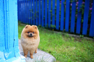 Pomeranian dog outdoor. Pomeranian dog near blue fence. Beautiful and clever dog
